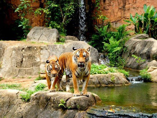 Beautiful tigers at our zoo internship in Malaysia http://www.oysterworldwide.com/gap-year/zoo-assistant-internship-in-malaysia/