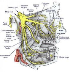 Trigeminal Nerve Anatomy: Gross Anatomy, Branches of the ...