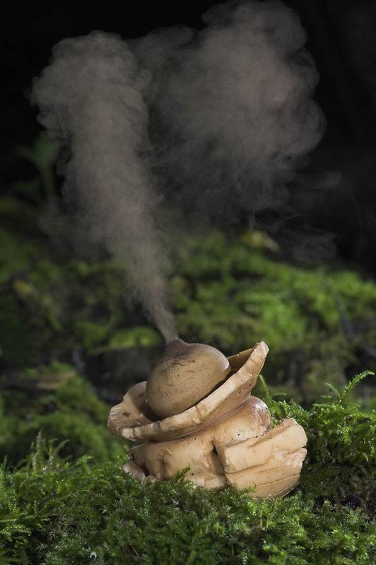 Hongo de estrellas de tierra (Geastrom triple) expulsando sus esporas - este hongo comestible pertenece a la familia Geastraceae y se encuentra en los detritos (partículas materia orgánica no viva, en contraposición a la materia orgánica disuelta, por lo general incluye los cuerpos o fragmentos de organismos muertos, así como material fecal).  Es el más grande de hongos estrellas de la tierra y sus esporas son liberadas del saco de esporas a través del peristome (Griego: ' peri - alrededor o…