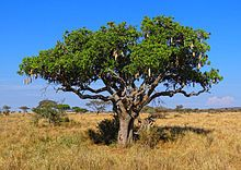 Kigelia Africana Sausage Tree Worsboom 18 m S A no 678 Serengetti N P Wikipedia, the free encyclopedia