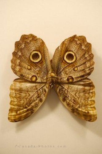 Picture of Owl Butterfly Venezuela Newfoundland Insectarium And Butterfly Pavilion