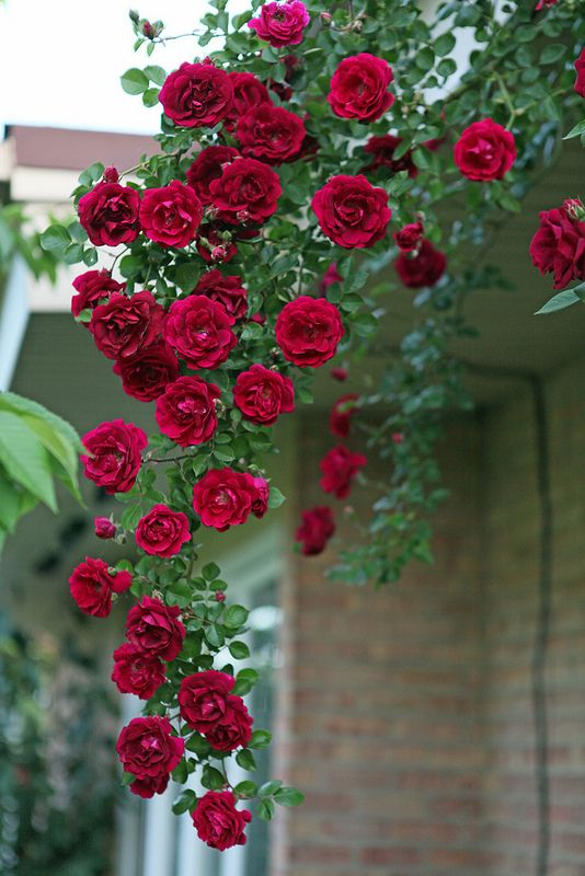 Red climbing Rambler rose