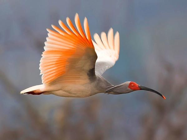 A picture of an endangered Asian crested ibis soaring over China is a first-prize winner in the first annual World's Rarest Birds international photo competition, organizers announced in January.