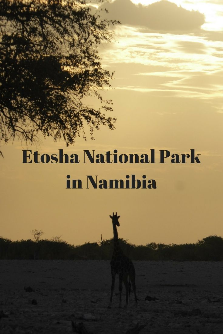 Der Etosha National Park liegt ca. 400 Kilometer nördlich von Windhoek und gehört bei einer Namibia Reise zu den Highlights.