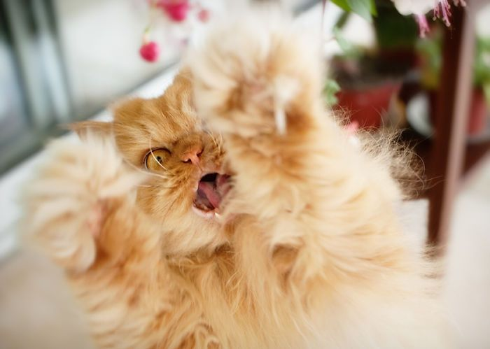 Best ANGRY CAT GARFI Images On Pinterest - Garfi is officially the worlds angriest cat