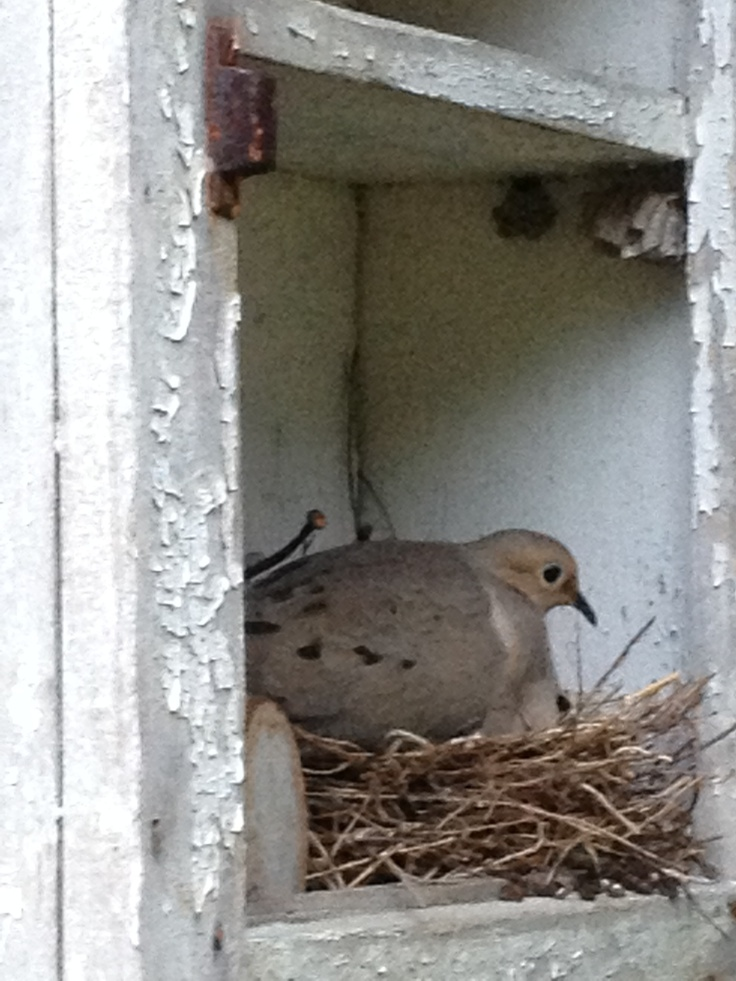 91 best images about birds in my yard on pinterest for Dove bird house