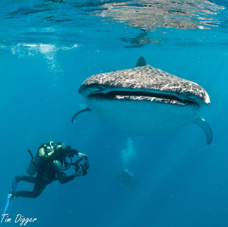 whale shark encounter at Tan-awan, Oslob, Cebu by Tim Digger