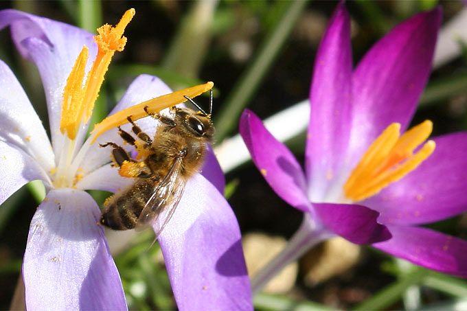 In jedem Garten gibt es ein fast unerschöpfliches Potenzial, um etwas Gutes für die Bienen zu tun. Haben Sie keine Angst vor Bienen, Wespen, Hummeln und Hornissen! Diese meist harmlosen und ungefährlichen Hautflügler leisten unschätzbare Dienste in der Natur.