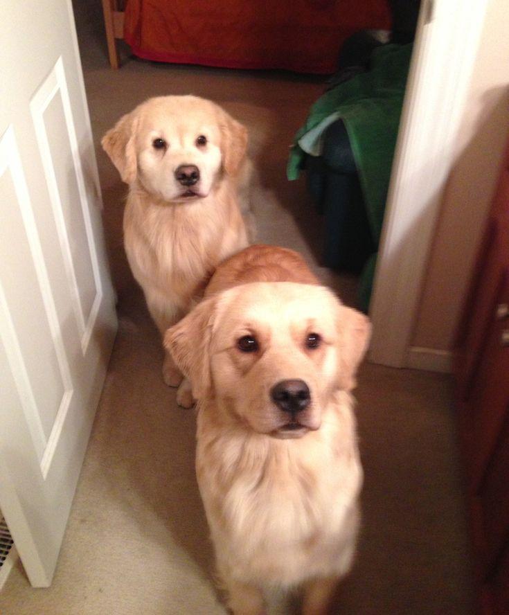 Mattiaci Goldens - Our Golden Retriever Puppy Information