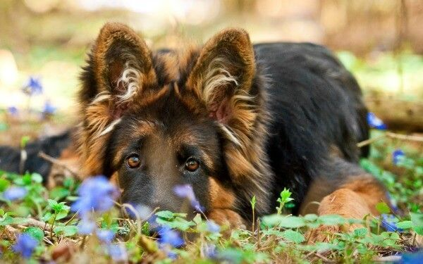 Home German Sheperd Dogs Dogs And Puppies Australian Shepherd Dogs