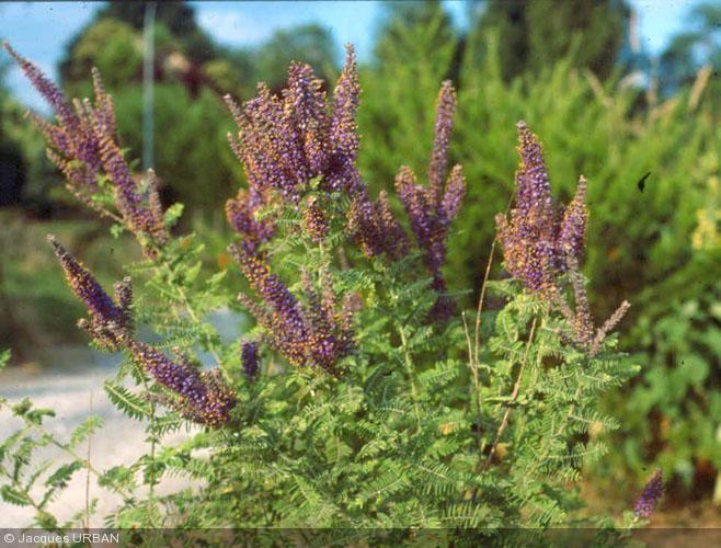 Amorpha canescens Nom commun : Faux indigotier Origine : Centre USA.  Arbrisseau de 1,20 m de haut (rarement plus) à feuilles composées caduques très aérées. Petites fleurs regroupées en une panicule lâche.