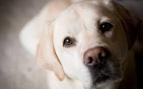 Resultado de imagen para perro labrador golden