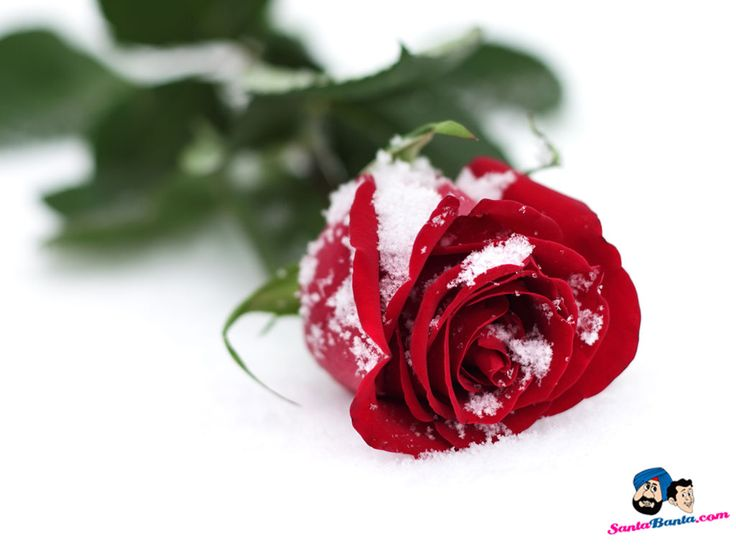 b651f0fd714c6a593ef4915c8826d28e rose wallpaper yahoo search - Roses Pictures Images - HD Wallpapers and Pictures