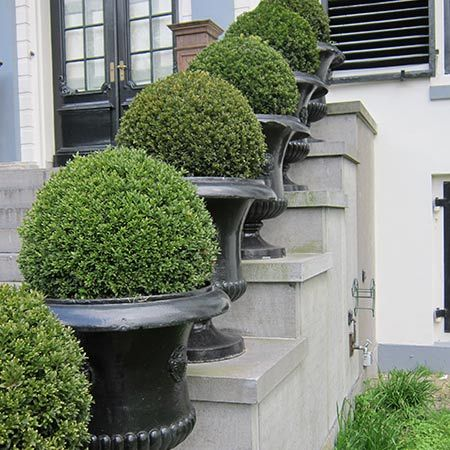 As Beautiful as it is Robust and Versatile - As American as baseball and apple pie, the American Boxwood is one of the most relied on plants in a landscaper's repertoire. Whether in a formal setting or a casual situation, this shrub is always up for the task thanks to its versatility. Ornamental throughout the year, this evergreen exhibits...