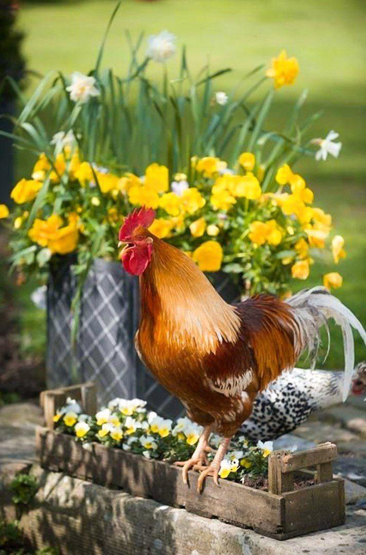 картинки с курицами доброе утро повторим