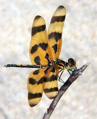 (My work, Panasonic FZ20 JPEG)  Halloween Pennant (Celithemis eponina). Captured on the beach in Pompano Beach, Florida. Dragonfly http://en.wikipedia.org/wiki/Halloween_Pennant