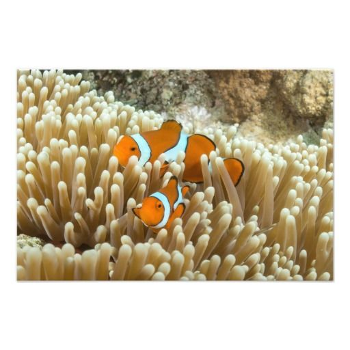A beautiful photo print showing a cute pair of Oscellaris clownfish at Steve's Bommie on the Great Barrier Reef
