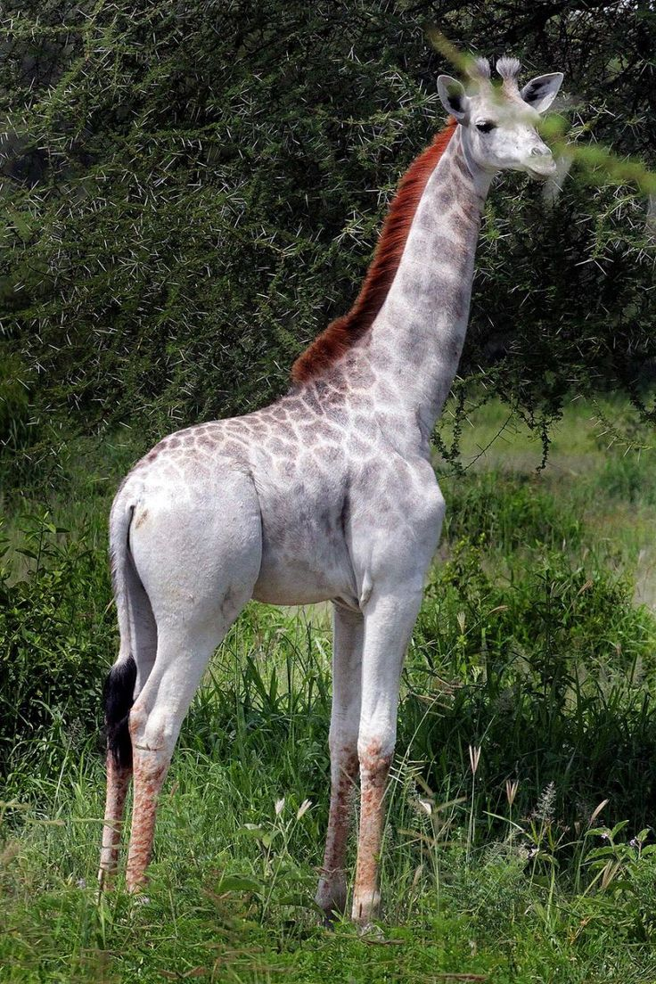 A rare white giraffe has been spotted in Tanzania's Tarangire National Park, and animal lovers are concerned about its welfare.