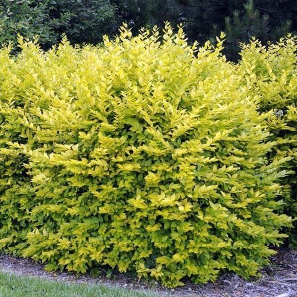 Ligustrum ovalifolium Aureum (Golden Privet) Australia
