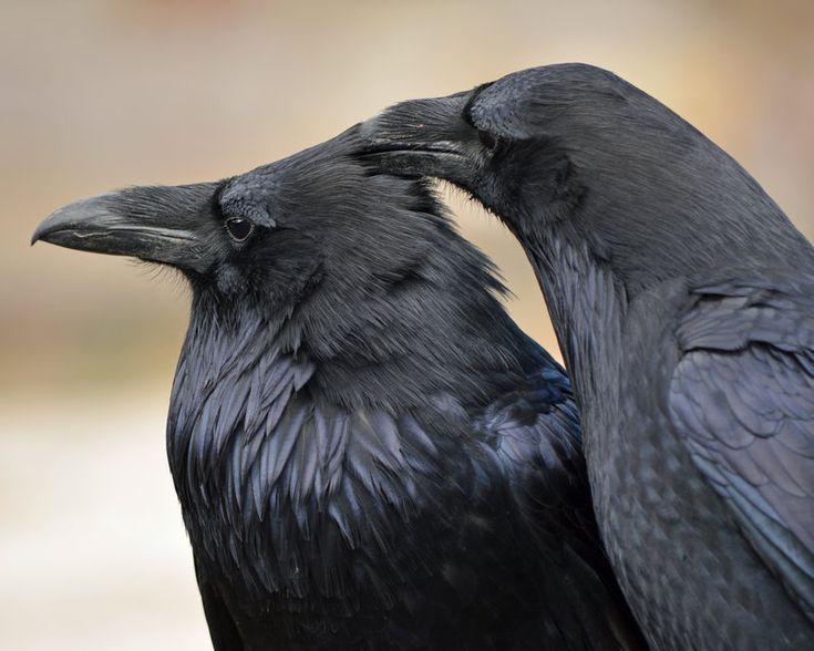 Head Itchby ~Canislupuscorax  Photography / Animals, Plants & Nature / Birds©2012 ~Canislupuscorax  An allopreening pair of common ravens (Corvus corax) at the Roaring Mountain in Yellowstone National Park.