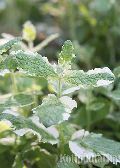 Omenaminttu (M. x rotundifolia) kuuluu ruoanlaittoon käytettävien minttujen parhaimmistoon. Mieto maku sopii myös salaattiin. Omenaminttu talvehtii ainakin suotuisina talvina. Kirjavalehtisen 'Variegatan' maku on vihreää lajiketta miedompi ja sen talvenkestävyys on heikompi. http://www.kotipuutarha.fi/puutarhavinkit/kasvata-herkkuja/yrttien-kasvatus.html