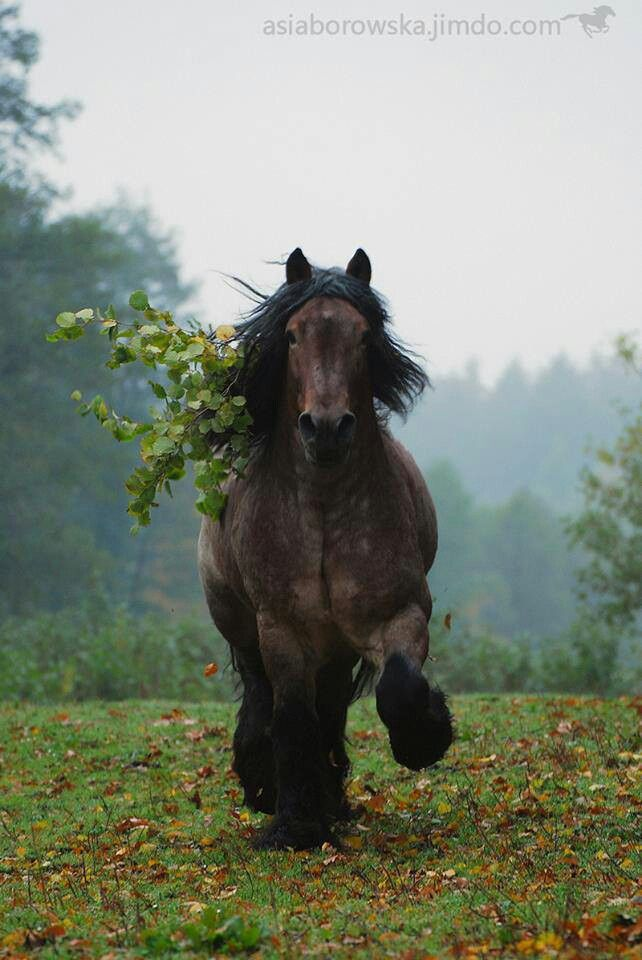 Had a little gallop, got a little tangled... could use some help here...(Belgian Draft by Asia Borowska)
