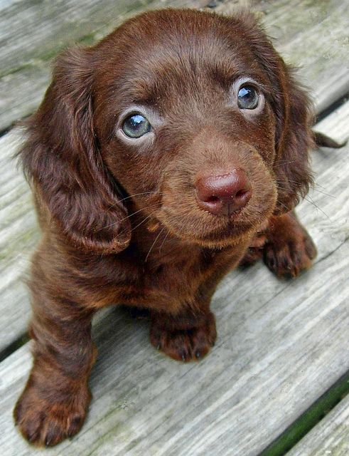 1 2 Chocolate Lab Springer Spaniel I Want Him Miniature Dachshundspuppy