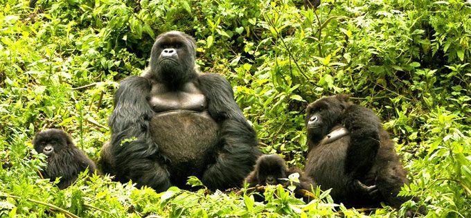 Parque Nacional de Volcanes Compuesto principalmente de selva tropical y el bambú, el parque cuenta con cinco de los ocho volcanes de la cordillera Virunga: el Karisimbi, el Bisoke, el Muhabura, Gahinga y Sabyinyo. Además de los gorilas de montaña, los protagonistas principales del parque, también tenemos muchos otros animales como los monos verdes de oro, duiker negro, el búfalo, la hiena manchada, la tragelafo rayas y 178 especies de aves,
