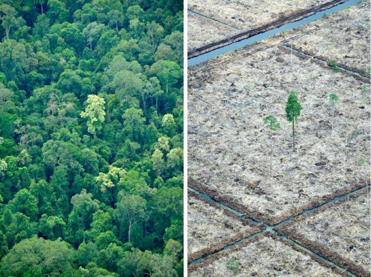 La forêt tropicale cède sa place aux palmiers à huile