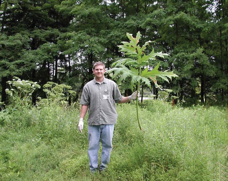Hogweed leaves can be 4 feet long. Photo: Thomas B. Denholm, New Jersey Department of Agriculture