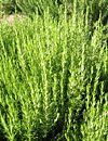 Rosemary herb nutrition facts and health benefits
