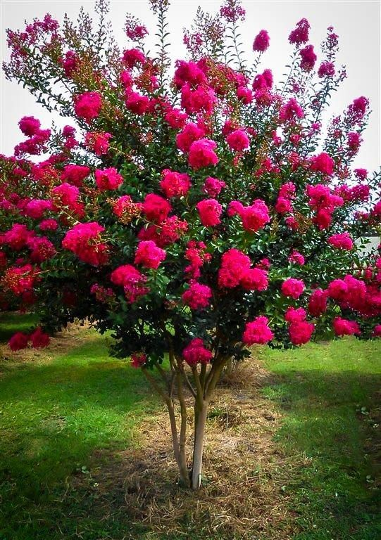 Tonto Crape Myrtle..(mine is a Mauve colour)