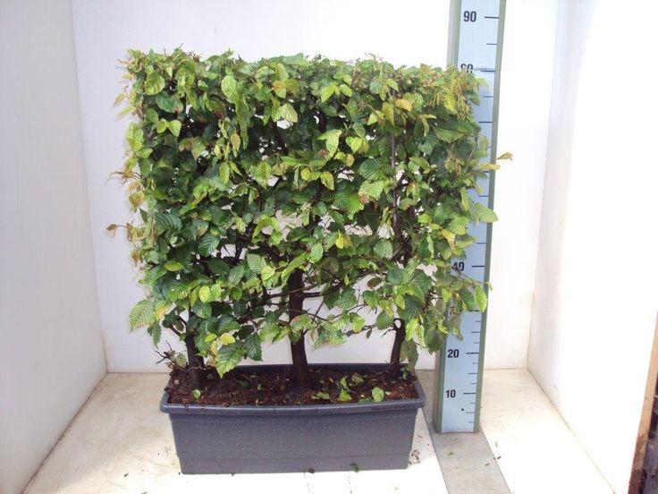 Koop nu de Haagbeuk (Carpinus betulus, haag) v.a. € 21,04 p/st bij Directplant! ✓Voordelige staffelprijzen ✓Lage verzendkosten ✓45 gratis afhaalpunten