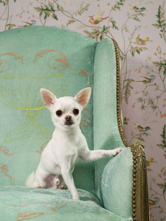 Chihuahua ♥  - I've always wanted one of these - for more from Mexico, visit www.mainlymexican... #Mexico #Mexican #chihuahua