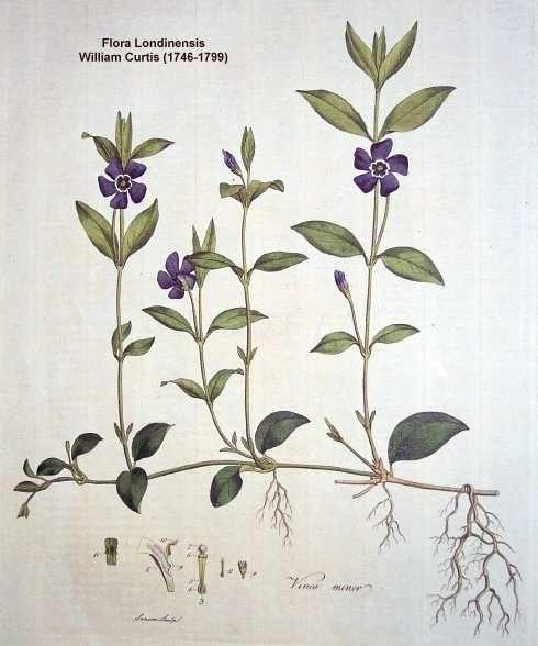 uw herbarium | Vinca minor L.