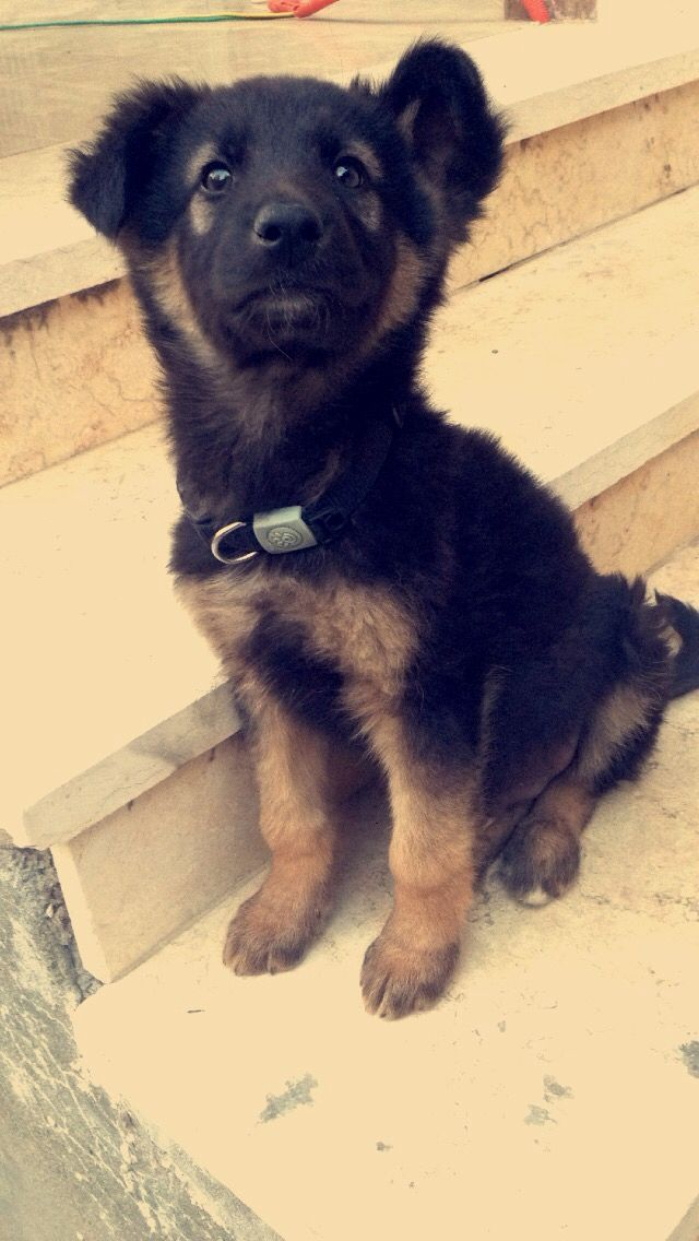 2 months old German Shepherd puppy, Harley.