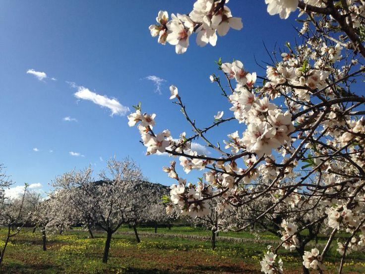 Almendros en flor en invierno en Ibiza Almond blossom