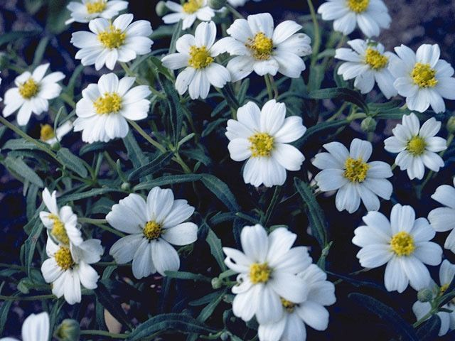 Blackfoot  daisy  is  a  sturdy,  mounding  plant,  that  will  flourish  in  rock  gardens. Description from wildflower.org. I searched for this on bing.com/images