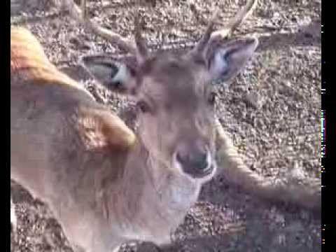 Deer  鹿  鹿  사슴  กวาง  צבי  हरण  ກວາງ  cerf  ciervo  Hirsch  олень  జింక ...