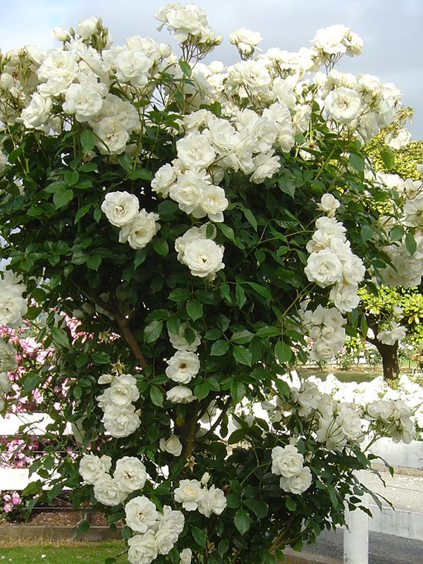 363 best rose bushes and climbing roses images on. Black Bedroom Furniture Sets. Home Design Ideas