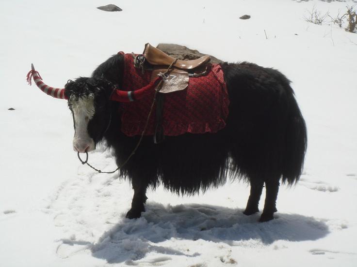 A beautiful giant Yak decorated in traditional tibetan way in Changu Lake, Sikkim.