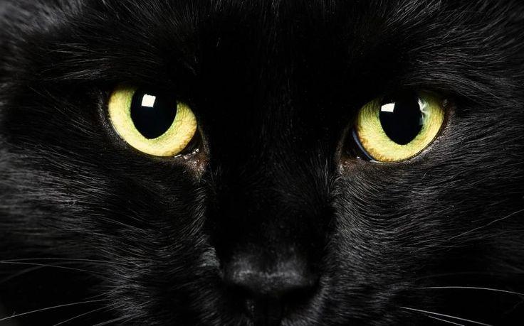 Le chat Vieni sul mio cuore innamorato, mio bel gatto: trattieni gli artigli della zampa, e lasciami sprofondare nei tuoi occhi belli misti d'agata e metallo. Come s'inebria di piacere la mia mano palpando il tuo elettrico corpo con le dita che tranquille ti accarezzano la testa e il dorso elastico! E penso alla mia donna, a quel suo sguardo come il tuo, amabile bestia, freddo e profondo che taglia e fende come freccia, e a quell'aria, a quel profumo che pericoloso fluttua sul suo corpo dai…