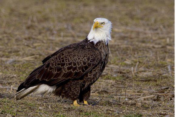 Bald Eagle Male