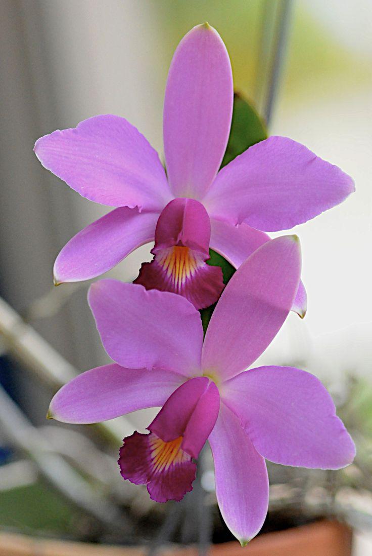 58 best cattleya orchids images on pinterest cattleya for Orchidea cattleya