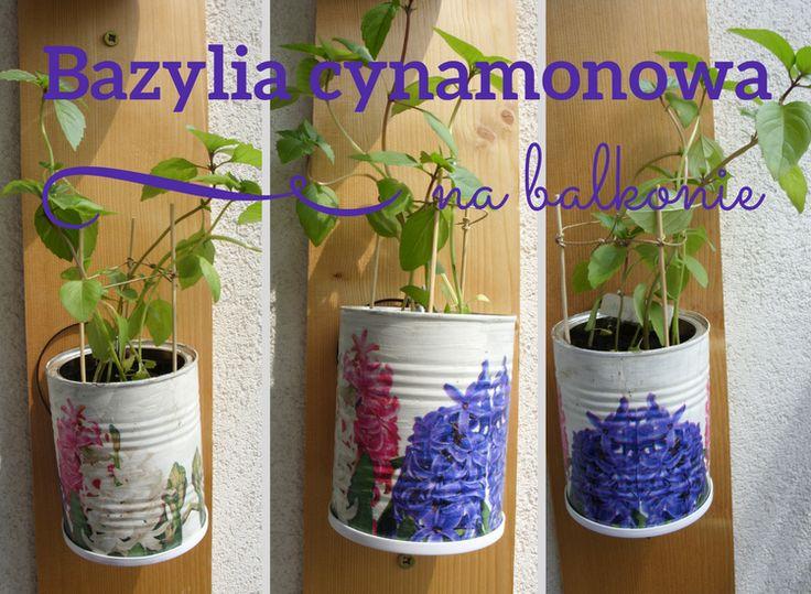 Bazylia cynamonowa na balkonie The brzoza