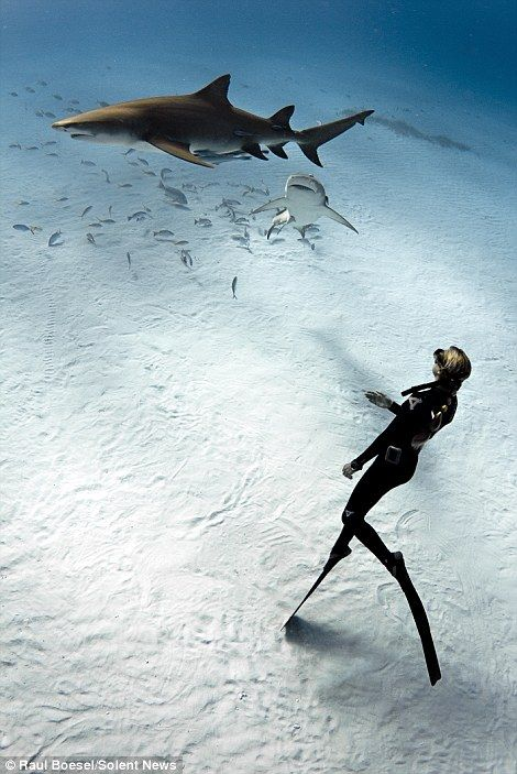 A diver swims with the sharks   only in the bahamas   beautiful clear waters and white sand