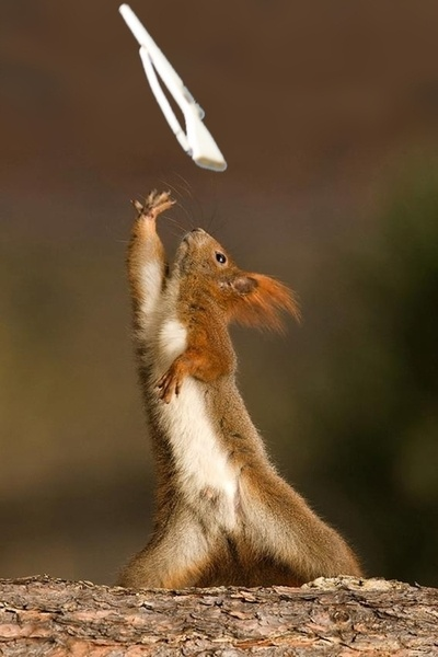 "spinthatflag:    youmaytakethefloorincompetition:    marchinglessons:    Saw this squirrel on reddit and thought it was missing something.    this is seriously perfect lol    I need that picture of a guard instructor with the caption ""This is not a free arm"""