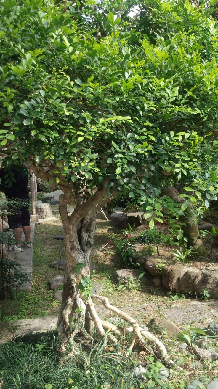戦争ですべてを失った沖縄。その時焼け跡に残ったこの木を目印に黒麹菌を見つけ出し、蔵元を再建する人たちに無償で配ったとのことです。