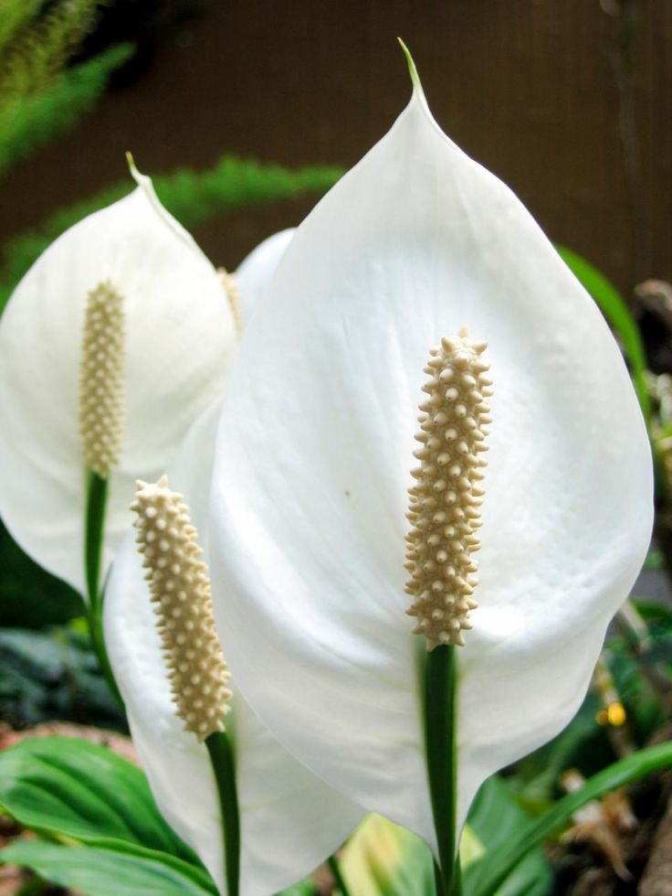 25 beautiful peace lily ideas on pinterest peace lilly plant best indoor plants and indoor. Black Bedroom Furniture Sets. Home Design Ideas