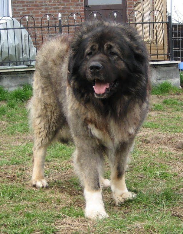 кавказская овчарка царандой - Поиск в Google
